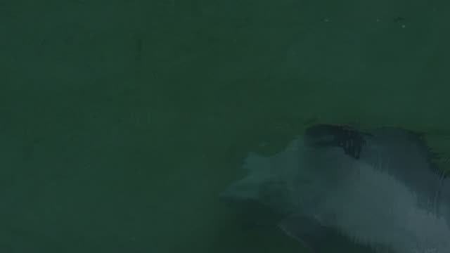 stockvideo's en b-roll-footage met ha pan with bottlenosed dolphin swimming on its back in shallows - cetacea