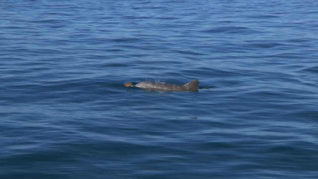 vidéos et rushes de pan with bottlenosed dolphin with brown sponge on its beak as it surfaces to breathe - grand dauphin