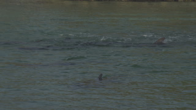 stockvideo's en b-roll-footage met pan with bottlenosed dolphins playing and swimming in shallows - cetacea
