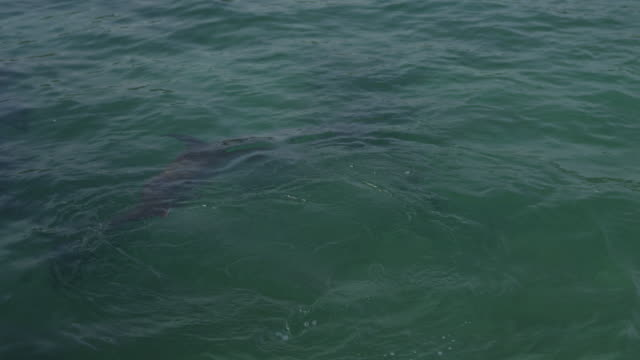 stockvideo's en b-roll-footage met pan with bottlenosed dolphins playing and swimming on back in shallows - op z'n kop