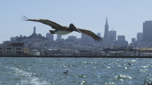 ws slo mo pan with brown pelican flying and gliding low over water with san franscisco in background - pelican stock videos & royalty-free footage