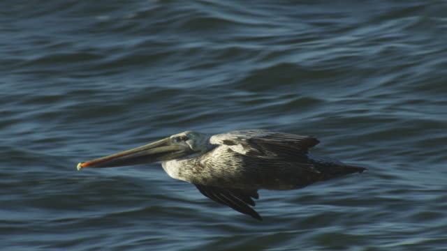MS SLO MO PAN with Brown Pelican flying low over sea