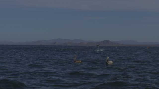 SLOMO WS with Brown Pelicans in foreground and Mobula rays leaping from water in background