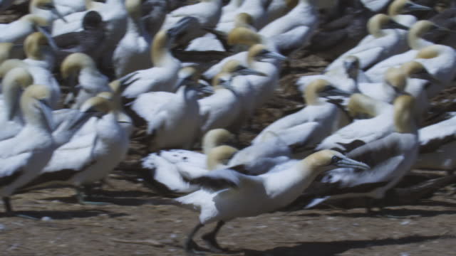 pan with cape gannet as it runs and takes off from edge of huge colony  - gannet stock videos & royalty-free footage
