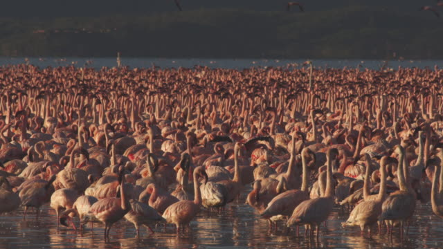 cu pan with dense group of african lesser flamingoes walk and parade in shallows - flock of birds stock videos & royalty-free footage