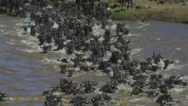 vidéos et rushes de slomo pan with dense group of wildbeest wading across river and climbing out over rocks - troupeau