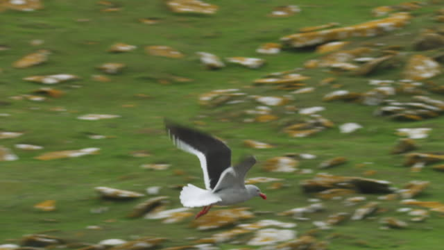 PAN with Dolphin Gull flying over Rockhopper Penguin colony