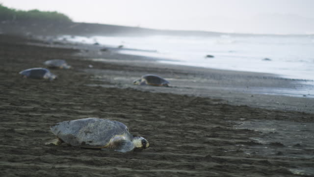 pan with female olive ridley turtle crawling down beach in profile - large group of animals stock videos & royalty-free footage