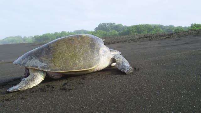 PAN with female Olive Ridley turtle crawling up beach in profile towards trees