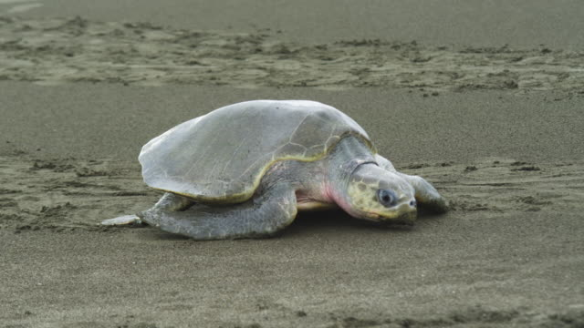 MS PAN with female Olive Ridley turtle crawling up beach in profile