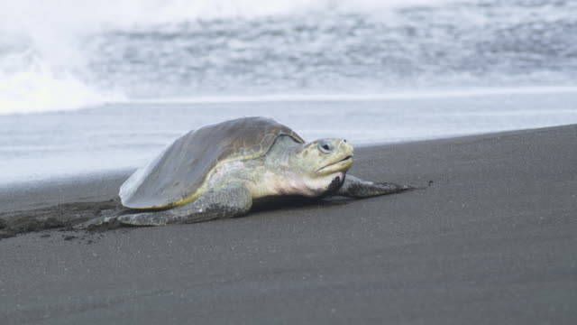PAN with female Olive Ridley turtle crawling up beach in profile with surf in background