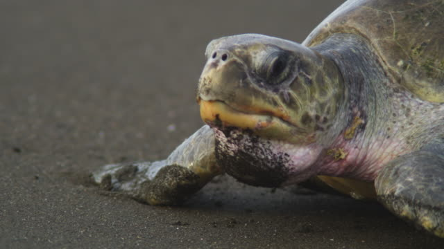 cu pan with female olive ridley turtle crawling up beach towards camera - costa rica stock videos & royalty-free footage