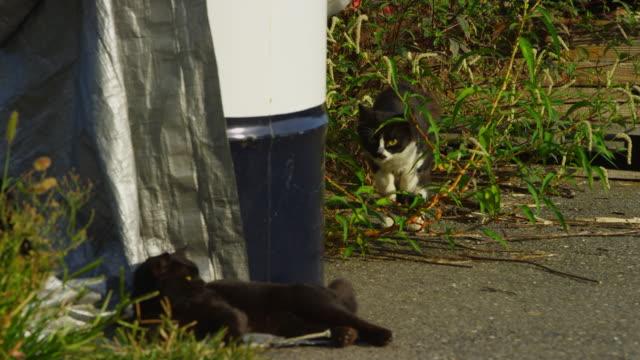 vídeos de stock, filmes e b-roll de ms pan with feral domestic cat stalking then attacking second cat around tarpaulin - espreitando