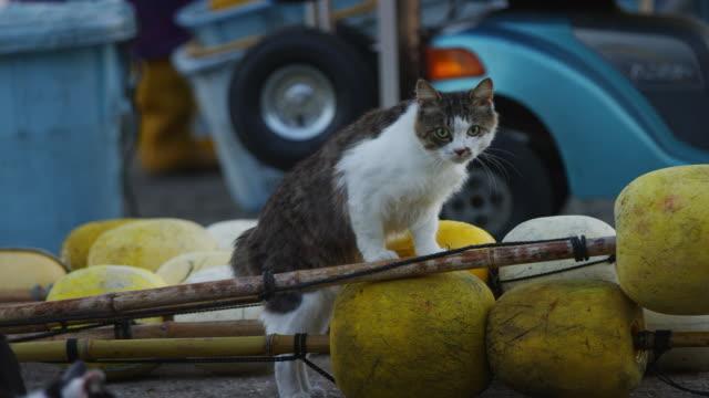 pan with feral domestic cat walking across fishing floats on dockside - schnurrhaar stock-videos und b-roll-filmmaterial