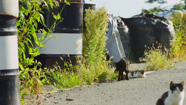 stockvideo's en b-roll-footage met pan with feral domestic cat walking from camera carrying kitten in its mouth past oil drums - kleine groep dieren