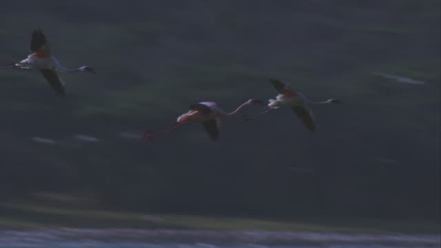 pan with flamingoes flying in and landing amongst flock on lake bogoria - flock of birds stock videos & royalty-free footage