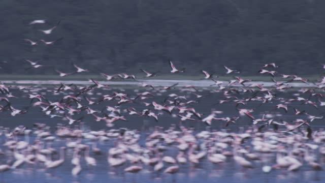 WS PAN with Flamingoes flying over Lake Nakuru