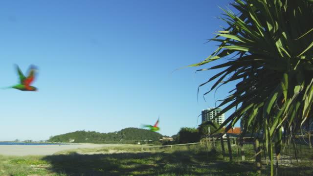 vídeos y material grabado en eventos de stock de ts with flock of 6 rainbow lorikeets flying across beach towards gardens and hotels on gold coast australia - gold coast