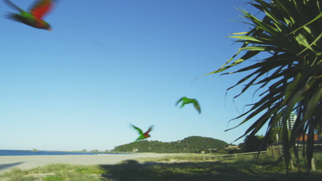 TS with flock of 6 Rainbow Lorikeets flying across beach towards gardens and hotels on Gold Coast Australia