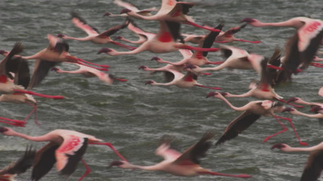 cu pan with flock of african lesser flamingoes struggling to fly into the wind over choppy lake bogoria - struggle stock videos & royalty-free footage