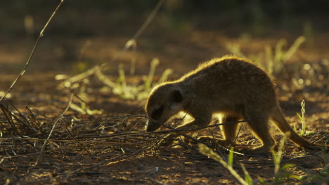 ms pan with foraging meerkat backlit - foraging stock videos & royalty-free footage