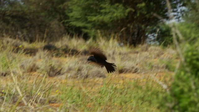 pan with fork-tailed drongo as it takes off and forages on the ground - drongo stock videos & royalty-free footage