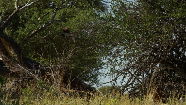 pan with fork-tailed drongo flying and hovering - drongo stock videos & royalty-free footage