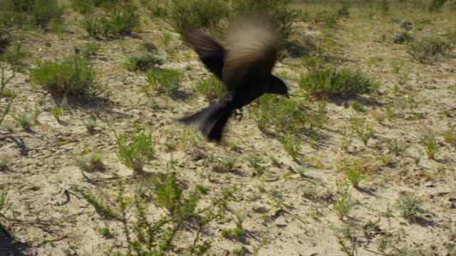 ha pan with fork-tailed drongo flying from bush - gespreizte flügel stock-videos und b-roll-filmmaterial