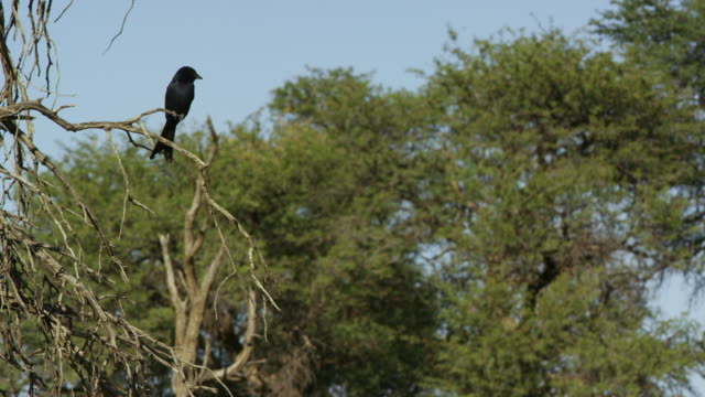 la pan with fork-tailed drongo flying from perch and hovering near foraging meerkat - foraging stock videos & royalty-free footage