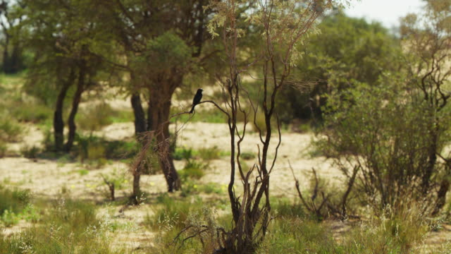 ws pan with fork-tailed drongo flying over scrub to land in tree - gespreizte flügel stock-videos und b-roll-filmmaterial