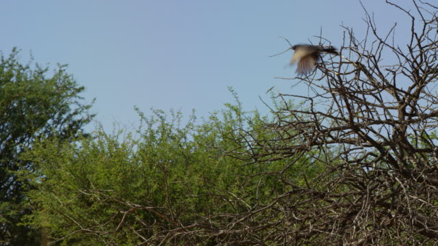 pan with fork-tailed drongo perched in bush as it takes off - drongo stock videos & royalty-free footage