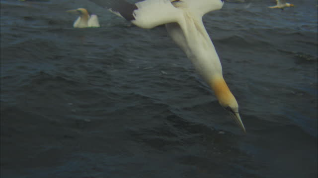 slomo la td with gannet stalling and diving in evening light - gannet stock videos & royalty-free footage