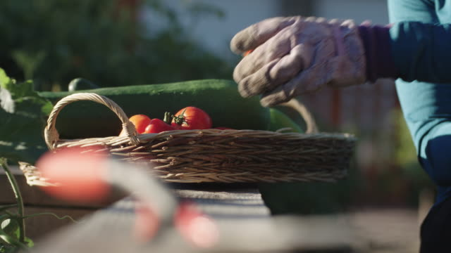 vídeos de stock e filmes b-roll de a with gardening gloves woman places a tomato in a basket filled with other vegetables on a sunny day - horta