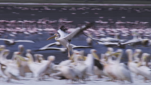 vídeos de stock e filmes b-roll de pan with great white pelican as it flies over flock on shoreline and lands - pelicano