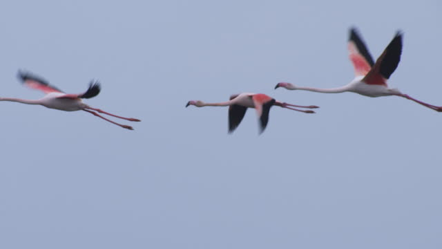 slomo pan with greater flamingo group flying with clear sky background - three animals stock videos & royalty-free footage