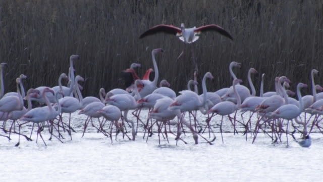 slomo td with greater flamingo  landing with legs down in group on lake  - camargue stock-videos und b-roll-filmmaterial