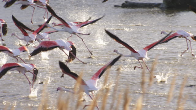 slomo pan with greater flamingo running to take off away from camera with reeds in background - 羽ばたく点の映像素材/bロール