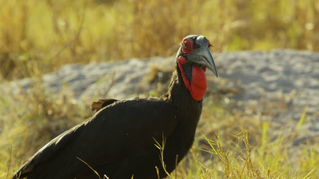 cu pan with ground hornbill foraging in long grass - foraging stock videos & royalty-free footage