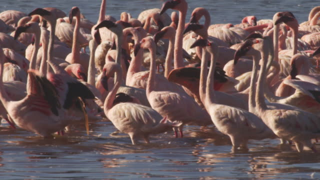 pan with group of african lesser flamingoes as they run to take off - flamingo bird stock videos & royalty-free footage