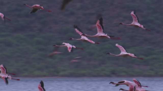 pan with group of african lesser flamingoes flying over then landing on lake bogoria  - flock of birds stock videos & royalty-free footage