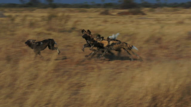 pan with group of african wild dogs running through long grass - hunting stock videos & royalty-free footage
