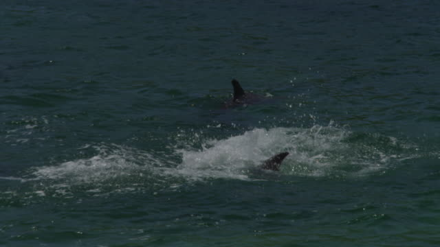 vidéos et rushes de pan with group of bottlenosed dolphins leaping - cétacé