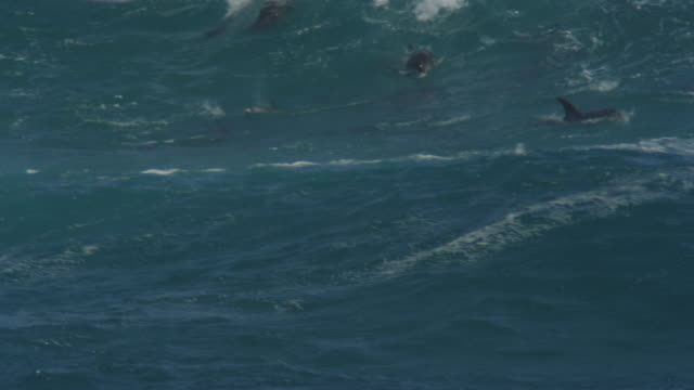 PAN with group of Bottlenosed Dolphins surfing and visible underwater
