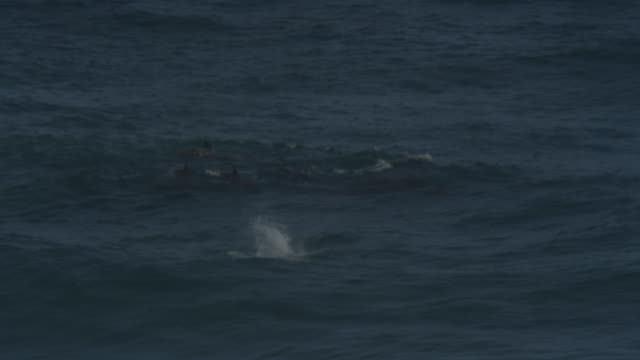 pan with group of bottlenosed dolphins swimming through waves with one leaping in foreground - cetaceo video stock e b–roll