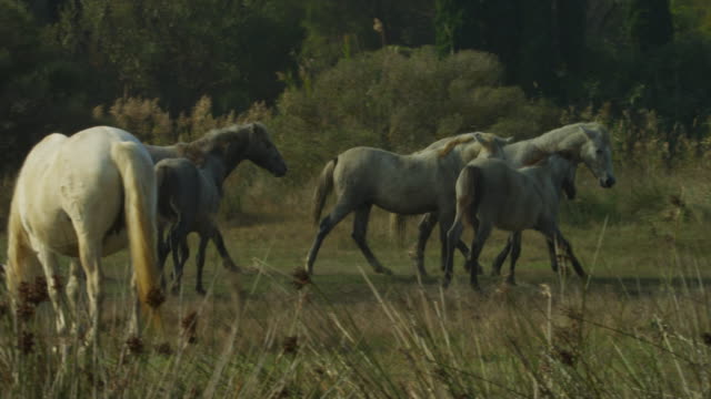 pan with group of camargue horses cantering around on grass - mittelgroße tiergruppe stock-videos und b-roll-filmmaterial