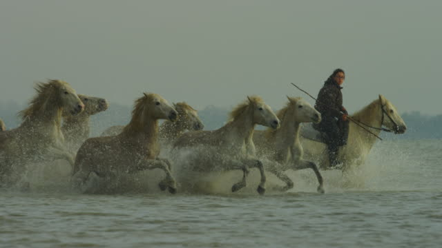 slomo pan with group of camargue horses galloping in profile in shallow sea with herder - potere femminile video stock e b–roll