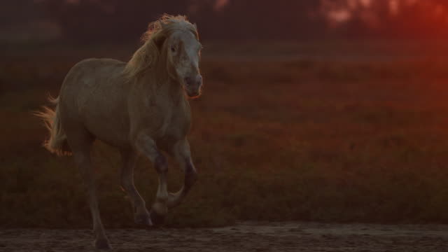 stockvideo's en b-roll-footage met slomo pan with group of camargue horses galloping to camera in evening light - dieren in het wild