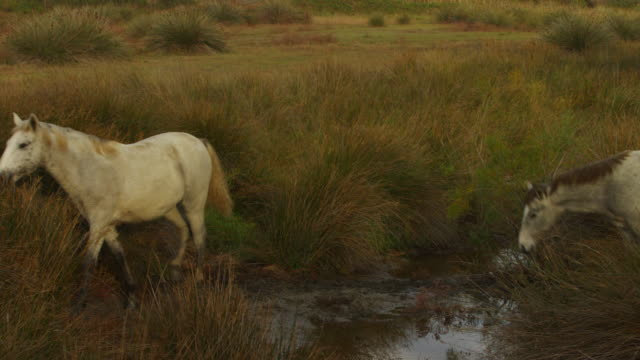 vídeos de stock, filmes e b-roll de pan with group of camargue horses jumps across stream - grupo pequeno de animais