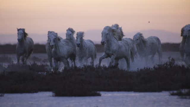 SLOMO PAN with group of Camargue horses splashing through shallows towards camera in evening light