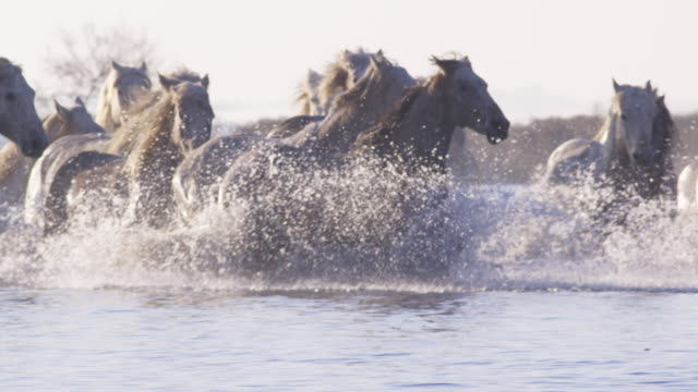 slomo pan with group of camargue horses splashing through shallows towards camera with herder in background - herder stock videos & royalty-free footage
